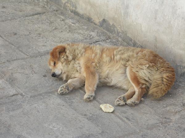 札什倫布寺睡午覺的狗