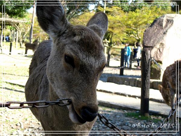 奈良古寺與梅花鹿2010_0408_144312.jpg