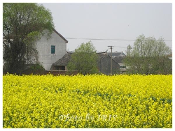 油菜花田IMG_0112.jpg