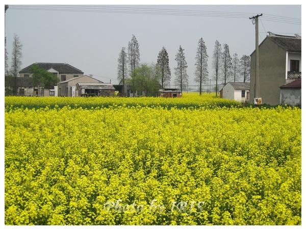 油菜花田IMG_0119.jpg