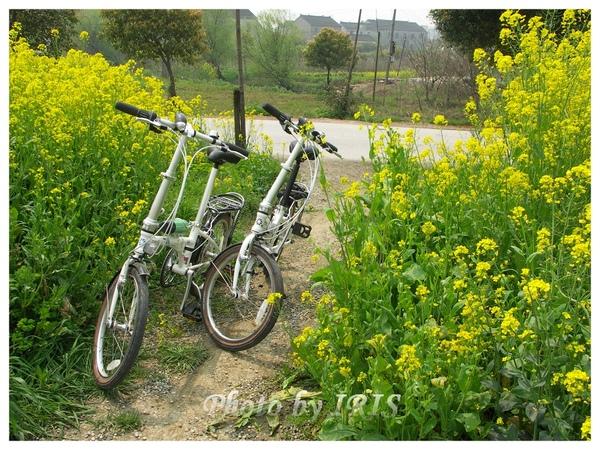 油菜花田PICT9821.jpg