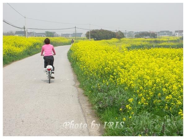 油菜花田PICT9839.jpg