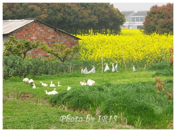 油菜花田PICT9847.jpg