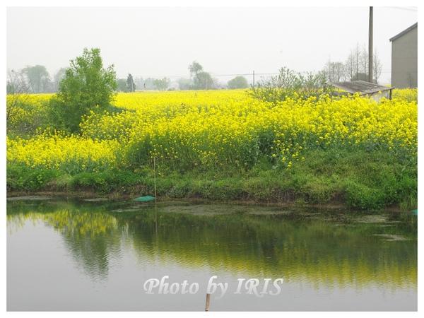 油菜花田PICT9865.jpg