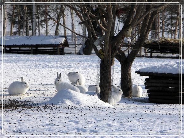 雪兔-1.jpg