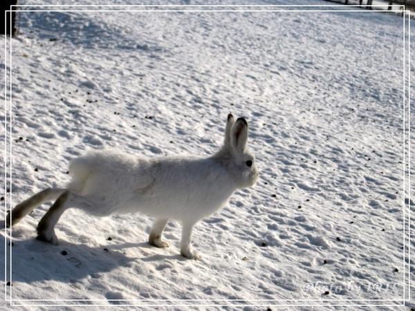 雪兔-9.jpg