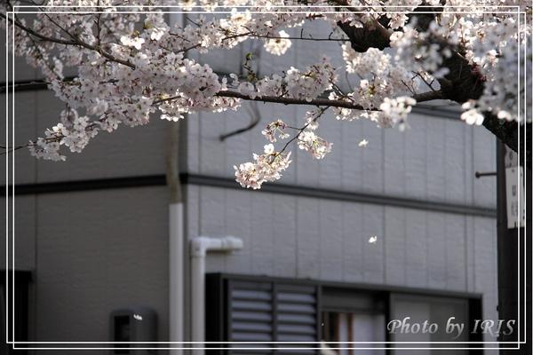 京都單車2010_0404_153844.jpg