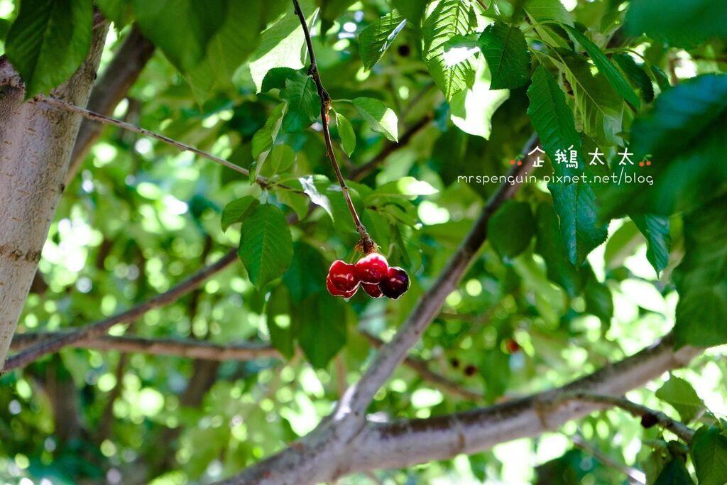 0採草莓 049.jpg