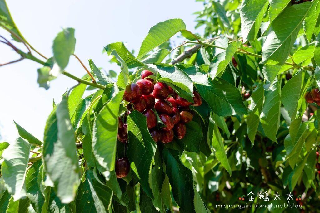 0採草莓 058.jpg