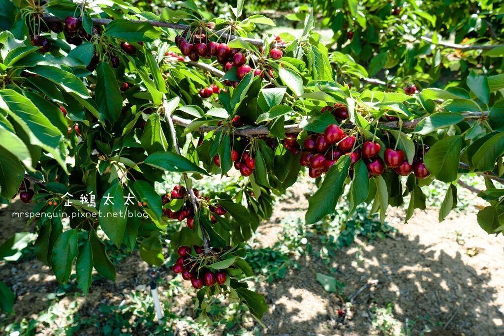 0採草莓 072.jpg