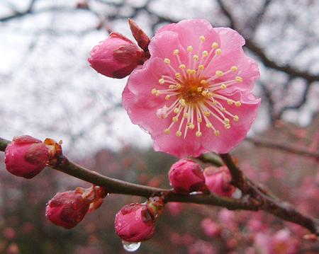 櫻花還是梅花?