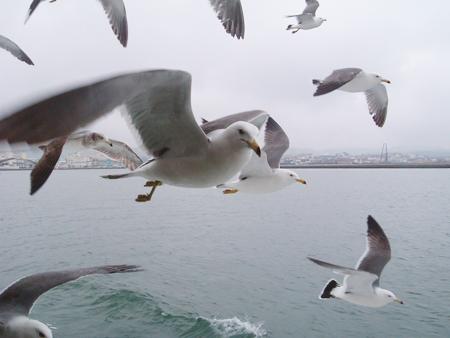 松島上的海鷗