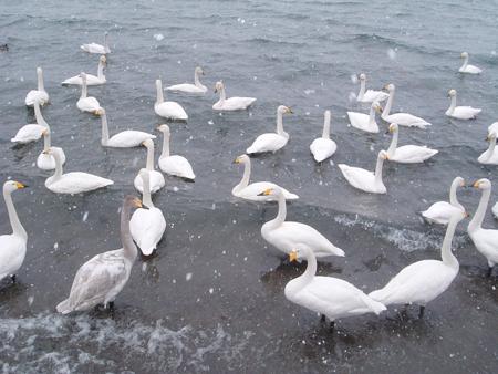 西伯利亞來渡冬的天鵝