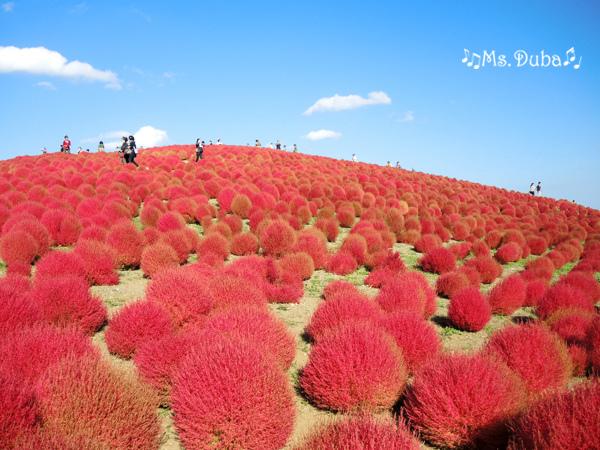 濱海公園 掃帚草