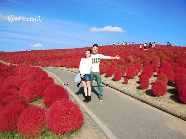 海濱公園 掃帚草