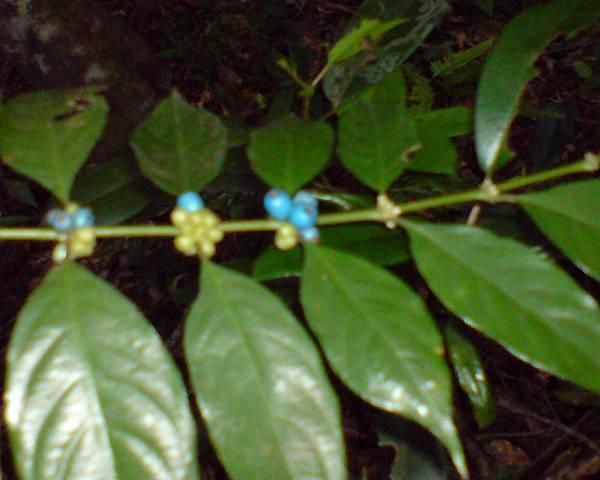 藍色的果實