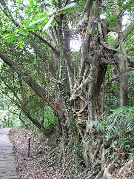纏在一起的樹