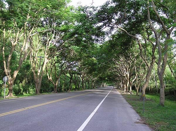 綠色鳳凰木隧道