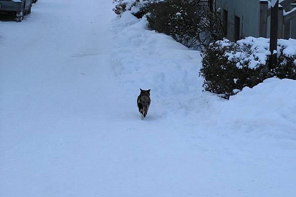 雪地中的貓