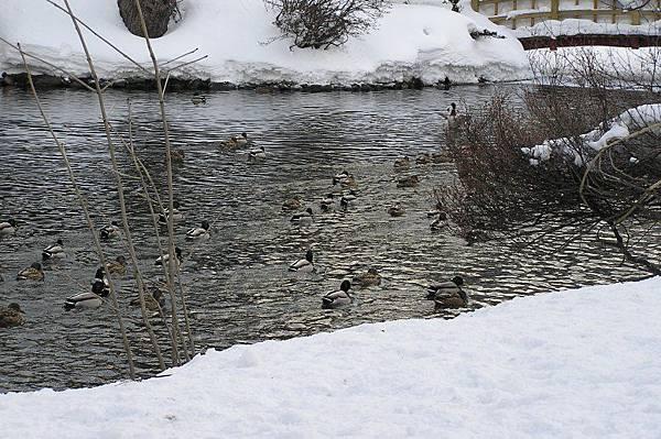 水鴨們躲到水池去了