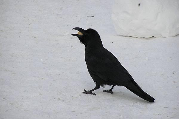 烏鴉也來湊熱鬧