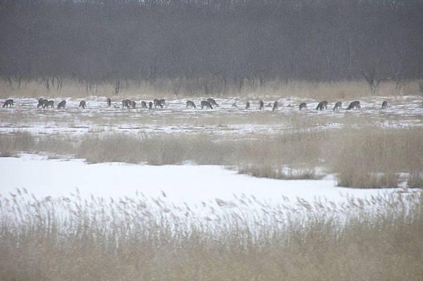 釧路濕原的鹿群