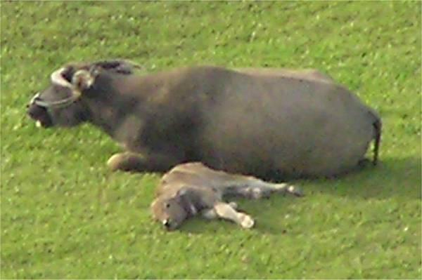 小牛在旁歇息