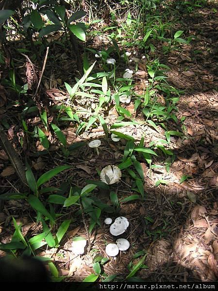 群生的鱗柄白毒鵝膏