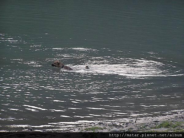 游泳中的狗