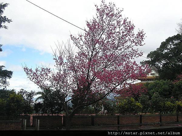 指南宮的山櫻花