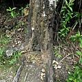 枯樹根幹長滿菇