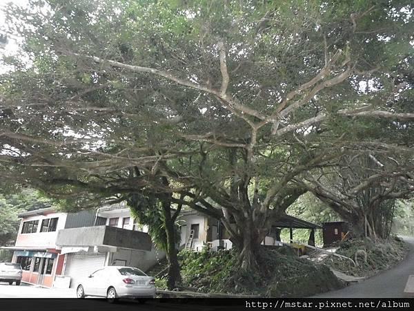 草湳大榕樹