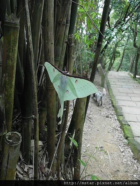 長尾水青蛾
