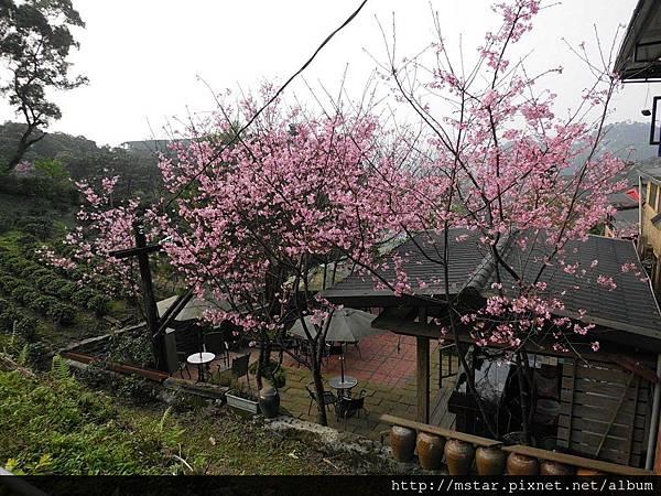 茶坊的櫻花樹
