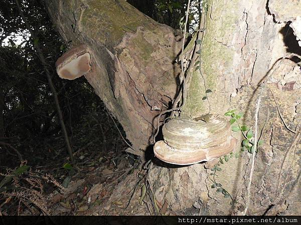 樹幹上的猴板凳