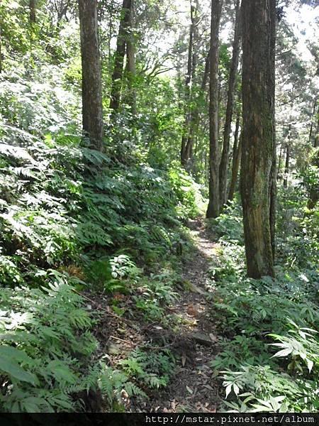 山腰杉林小徑