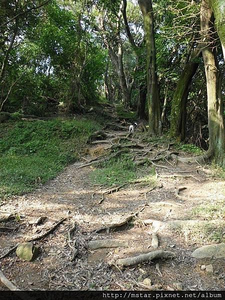 往中埔山東峰樹根路段