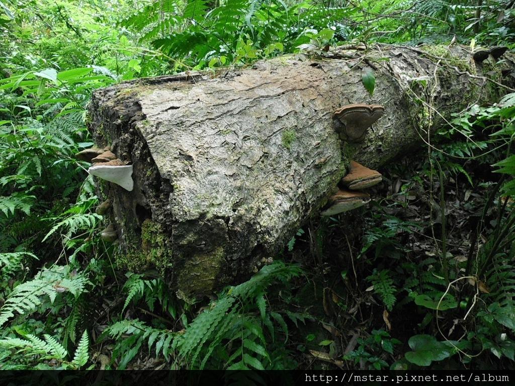 角殼多年臥孔菌?