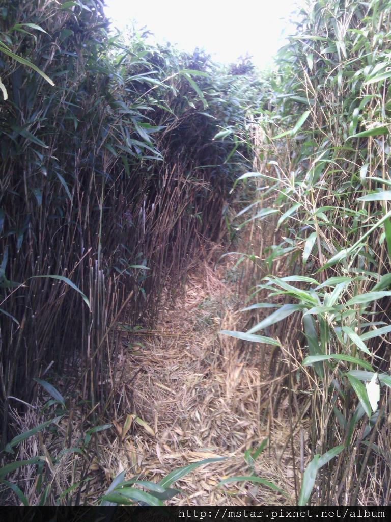 窄徑旁箭竹