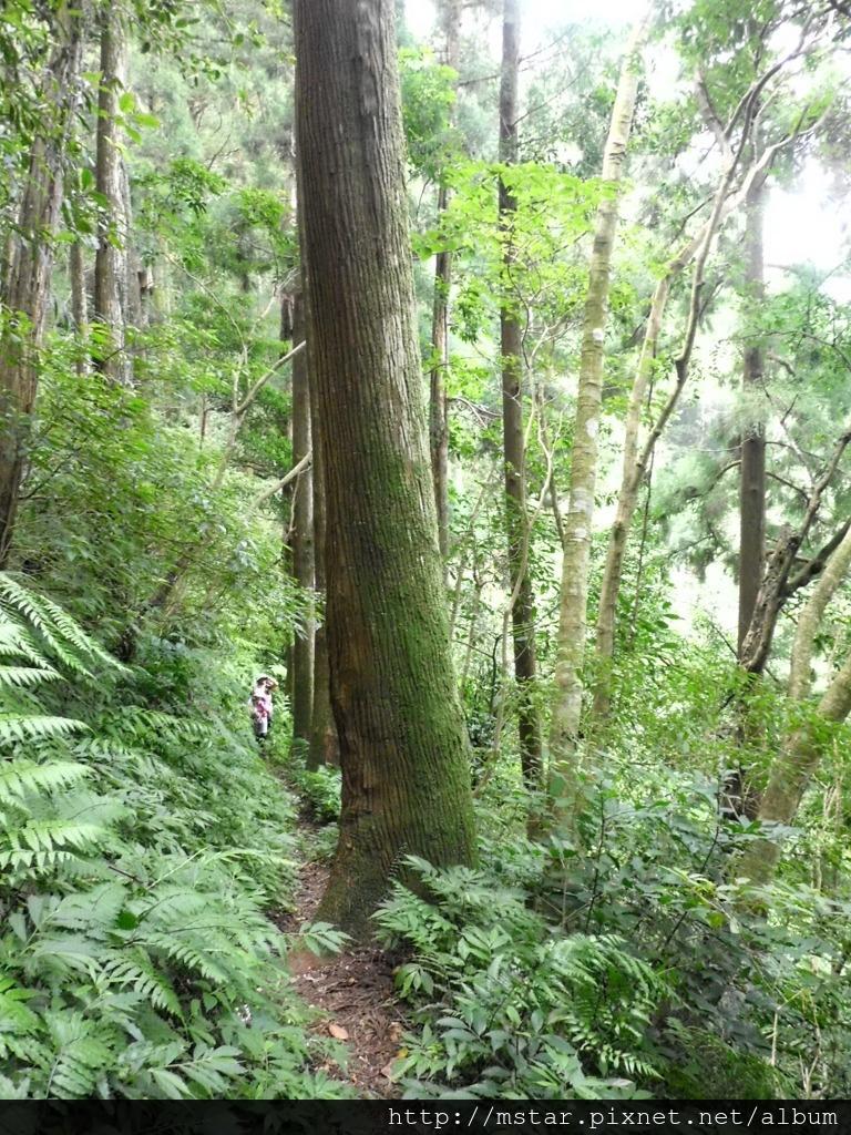 坡邊杉林路徑