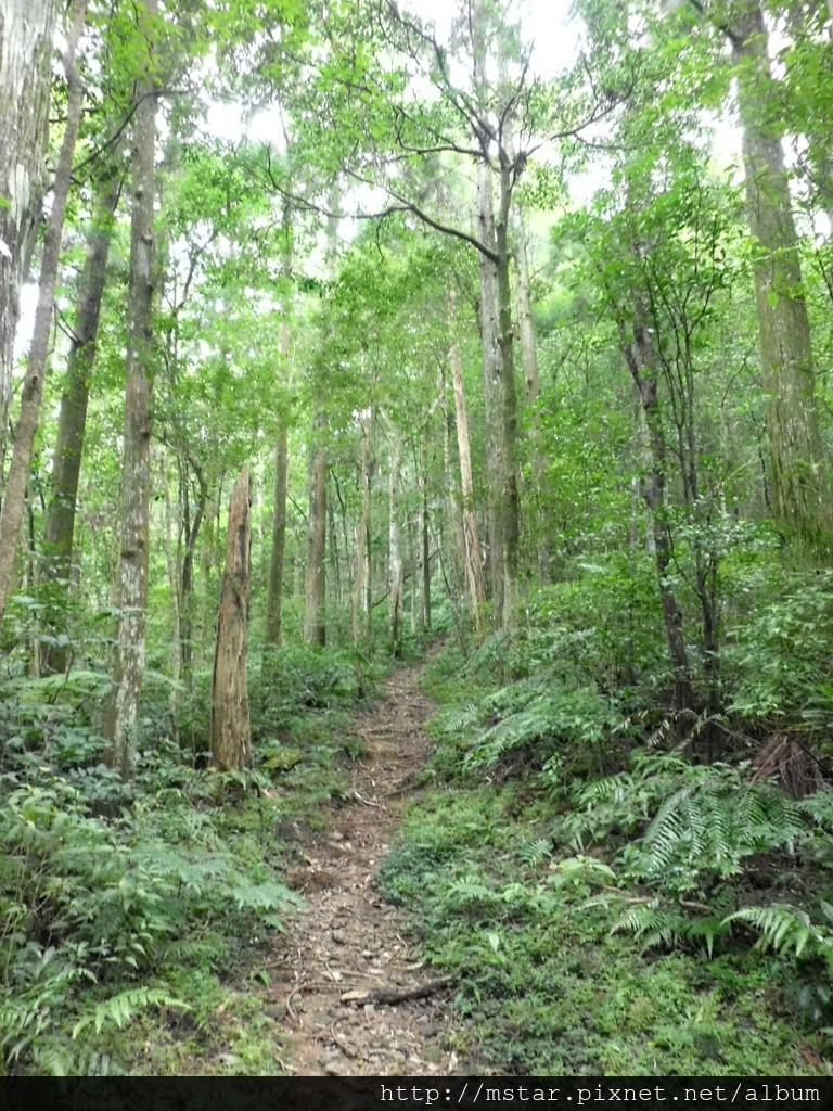 寬敞杉林路徑