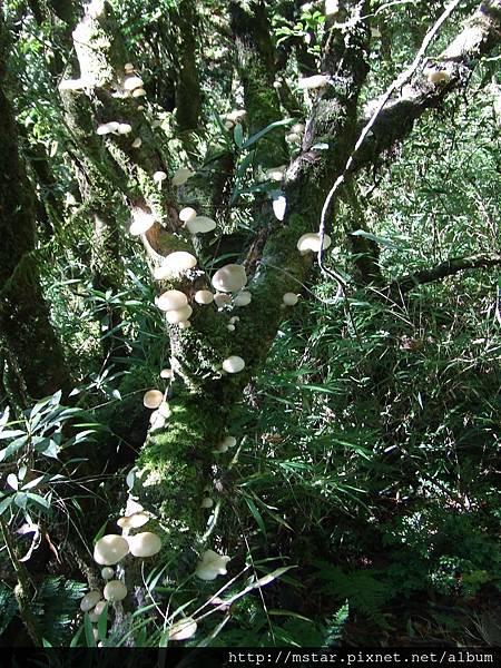 樹上長滿菇