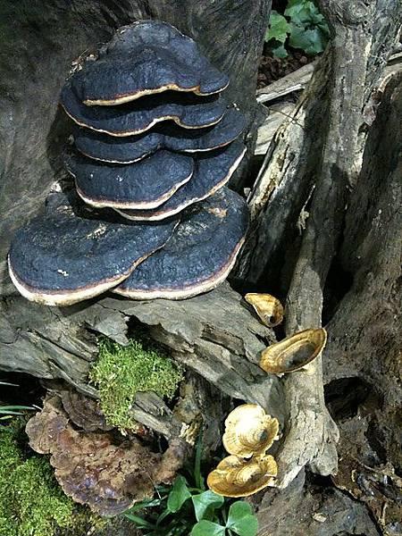 角殼多年臥孔菌、囊孔附毛菌?、黃柄小孔菌