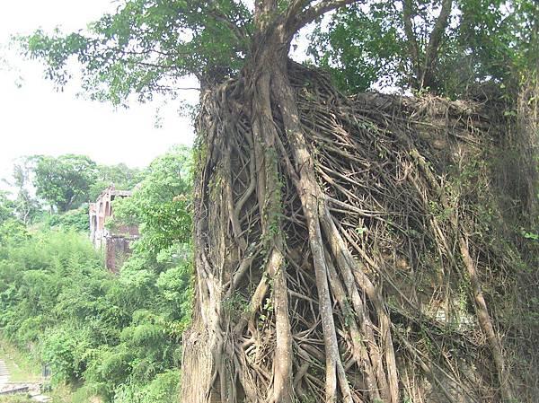 被樹根包住的魚藤坪斷橋