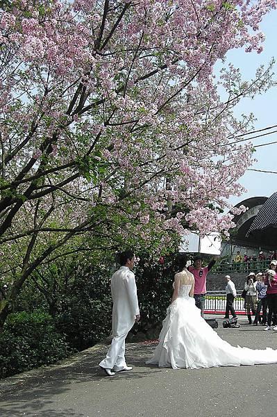 櫻花樹下的婚紗
