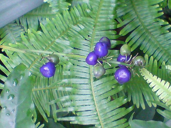 紫色的果實