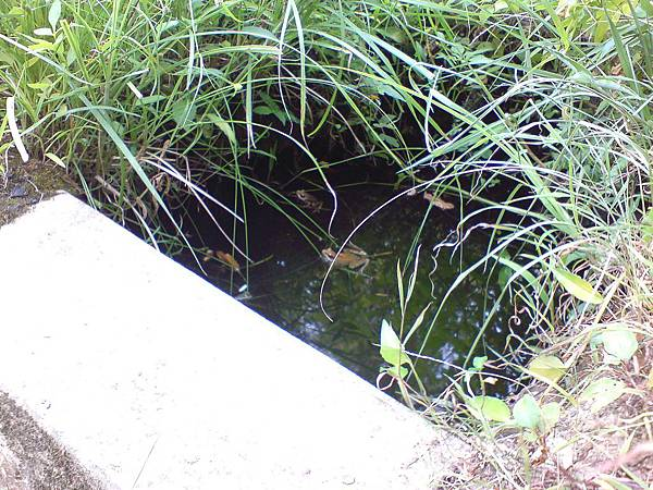 池子裏的青蛙