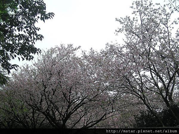 永公路245巷的櫻花