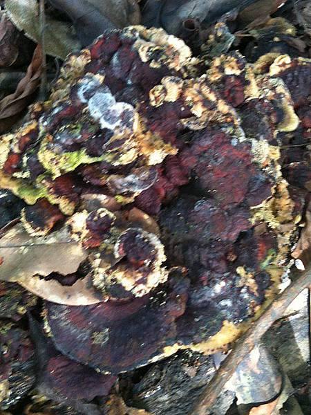 梳狀木層孔菌?