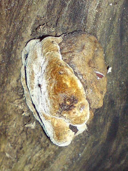 厚硬木層孔菌?